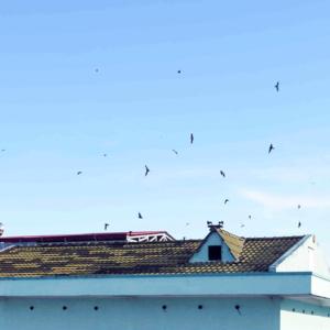 Cà Mau: Người già, trẻ nhỏ mất ngủ vì tiếng chim yến kêu ngày, đêm-Yensaodongduong.com