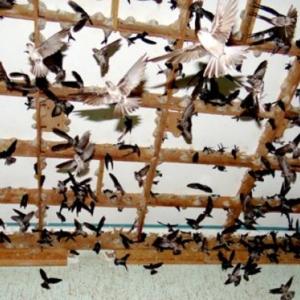 Kiên Giang: Thực hiện quy định tạm thời về quản lý nuôi chim Yến-Yensaodongduong.com